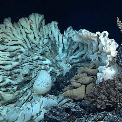A világ legnagyobb mélytengeri szivacsára bukkantak Hawaii környékén
