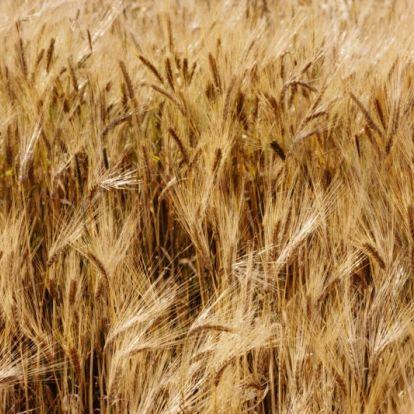 Kezdődik az aratás: milyen lesz az idei termés?