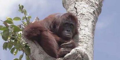 Kétségbeesetten kapszkodott az utolsó megmaradt fába az orangután, miután elpusztították az otthonát