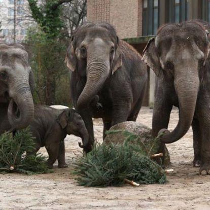 Karácsonyfával etetik a világ több állatkertjében az elefántokat