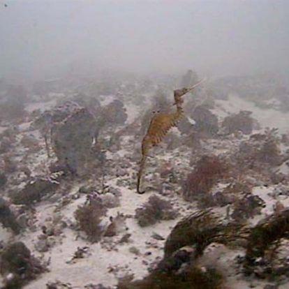 Először bukkantak a rubin tengeri sárkány élő példányaira