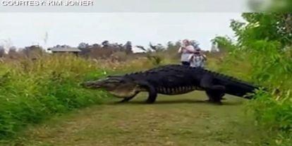 VIDEÓ: Életre kelt sokak rémálma, iszonytató méretű aligátor sétált át az úton
