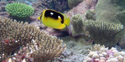 Újabb csapás fenyegeti a Nagy-korallzátony koralljait