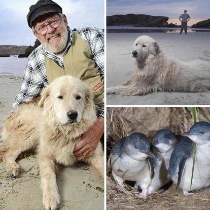 Meghalt a híres juhászkutya, aki megmentett egy egész pingvinkolóniát