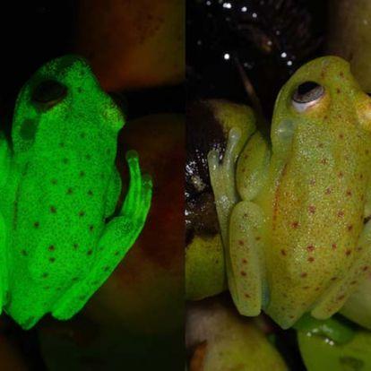 Véletlenül fedezték fel a világ első fluoreszkáló békáját