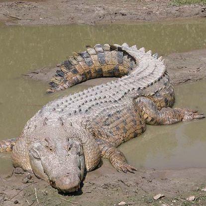 Felfalta kisebb társát egy hatalmas bordás krokodil Ausztráliában