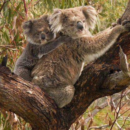 Veszélyben a koalák – Ausztrália egyes területeiről néhány év alatt teljesen eltűntek