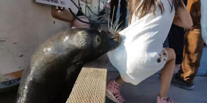 Oroszlánfóka rántott magával egy kislányt a tengerbe