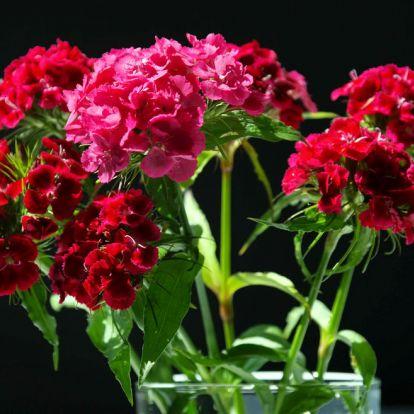 Illatos, vágott virágként is szépen mutat a törökszegfű