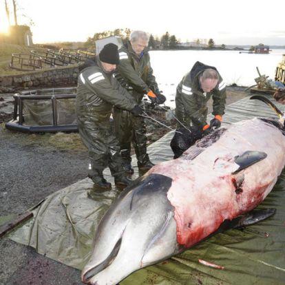 Egy bálna gyomrában talált szemetet állítanak ki Norvégiában