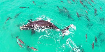 Delfinekkel játszó bálnát örökítettek meg Ausztráliában – csodálatos drónvideó