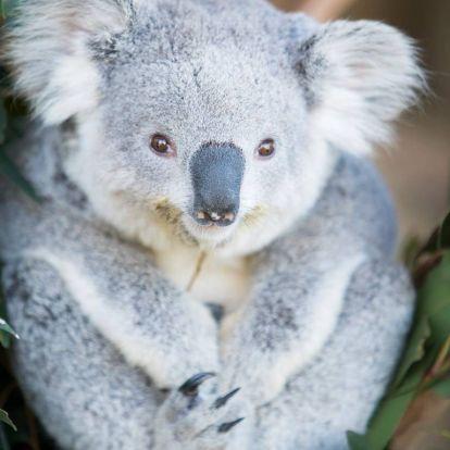 Indítsuk a hetet a legcukibb koalabébivel!