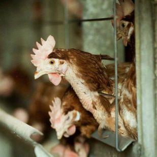Megkínozzuk és megöljük a tojógépeket