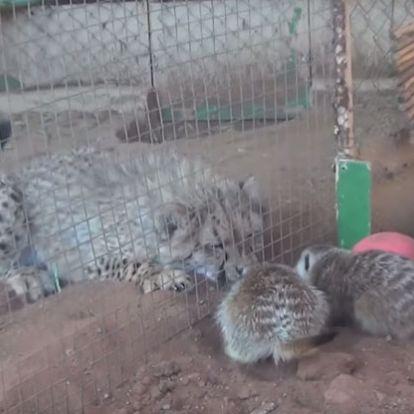 Dorombolással fogadja a harcias szurikáták támadását a barátkozni próbáló gepárd