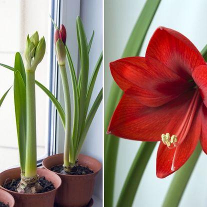 Három fontos tipp az amarillisz sikeres virágzásához!