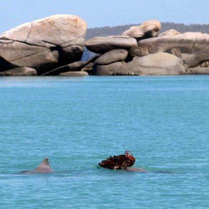 Tengeri szivaccsal kedveskednek választottjaiknak a púposhátú delfinek