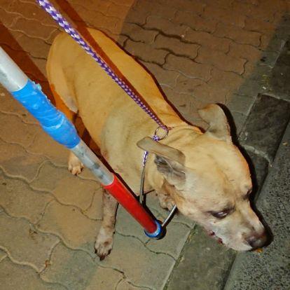 Újra póráz nélkül járja a budai utcákat a tacskógyilkos pitbull