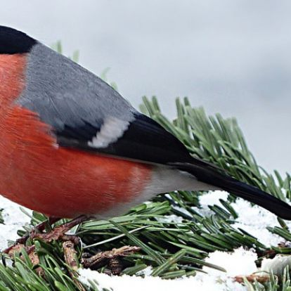 Chopint fütyültek a madarak a német erdőkben a 19. században