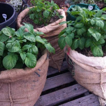 Így termessz növényeket egy egyszerű vászonzsákban