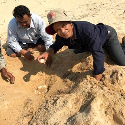 A már csaknem kihalt királyi teknős fészkére bukkantak Kambodzsában