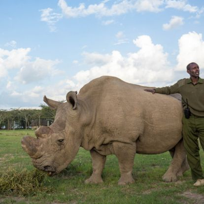 Megbetegedett Sudan, az utolsó hím északi szélesszájú orrszarvú