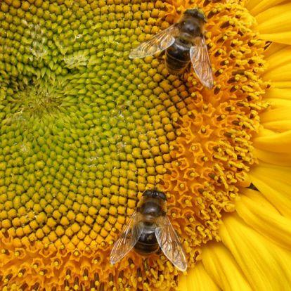 Méhecske hotelek elhelyezésére biztatnak a természetvédők