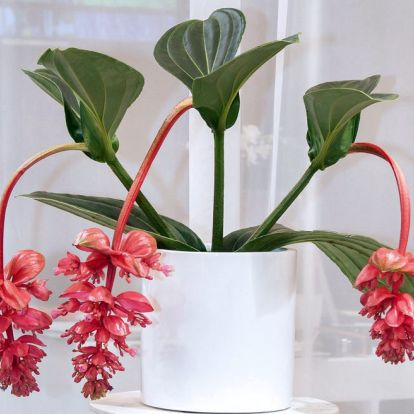 Így őrzi meg szépségét a szobanövény óriás medinilla