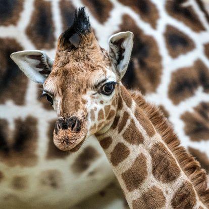 Zsiráfbébit hozott a gólya a Nyíregyházi Állatparkba