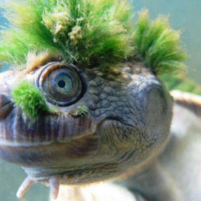 A kihalás szélére került a világ egyik legkülönlegesebb teknőse