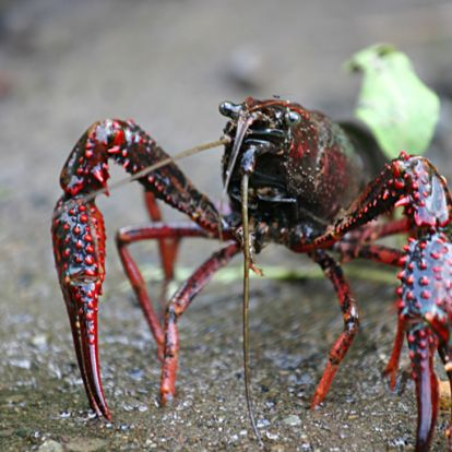 A vörös mocsárrák, az ökoszisztéma-mérnök