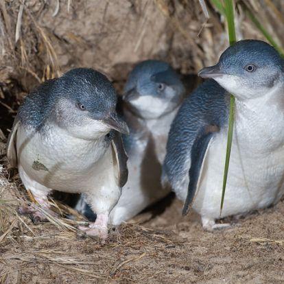 Több ezer példány veszett oda az elmúlt hónapokban a világ legkisebb pingvinjéből