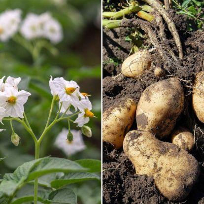 Burgonya növénytársításban, avagy milyen környezetet kedvel a kertben a krumpli?