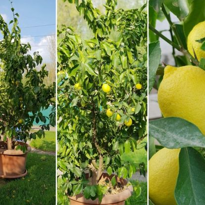 A citromfa, mely rengeteg gyümölccsel hálálja meg megmentőinek a törődést