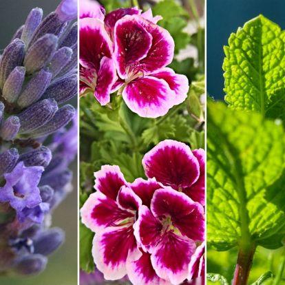 5 virág, illetve fűszernövény, amely természetes szúnyogriasztóként hat