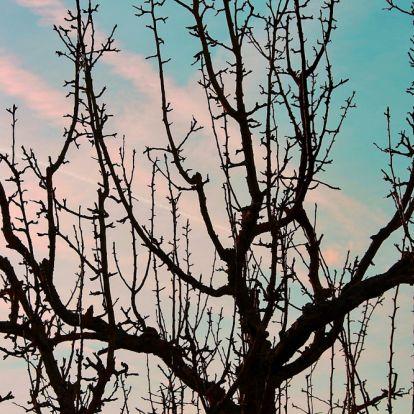 Az almafa vízhajtása: hogyan távolítsuk el?