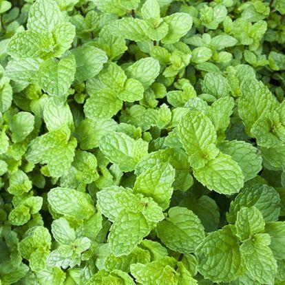 A menta sokoldalúan felhasználható fűszer-, és gyógynövény - Ismerkedj meg vele közelebbről!
