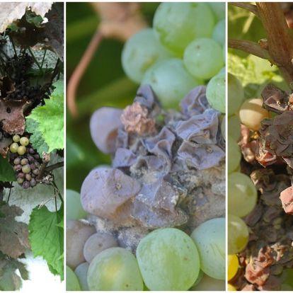 Hogyan védjem meg a szőlőfürtöket a szürkerothadástól?