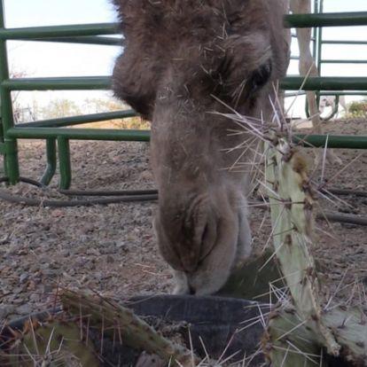 Még a legtüskésebb kaktuszokból is képesek lakmározni a tevék