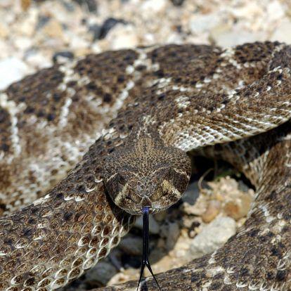 Csörgőkígyó levágott feje mart csaknem halálra egy texasi férfit