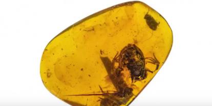 100 millió éves, borostyánba zárt békákat találtak Mianmarban
