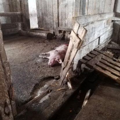 Óriási medve volt, fényes, szinte fekete – újabb medvetámadás Erdélyben
