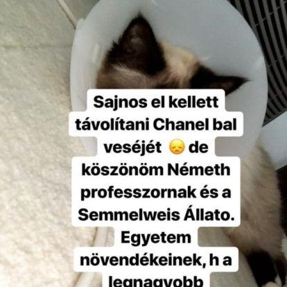 Kivették a fél veséjét Vajna Tímea macskájának