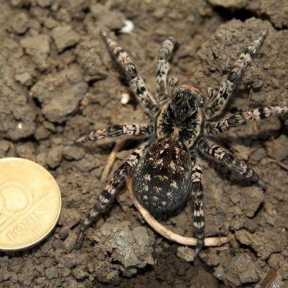 A legnagyobb magyarországi pók