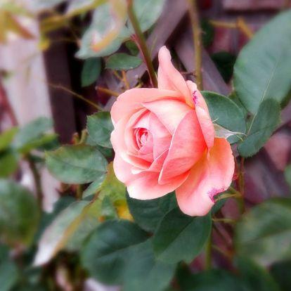 Rózsák őszi metszése: megéri vele bíbelődni?
