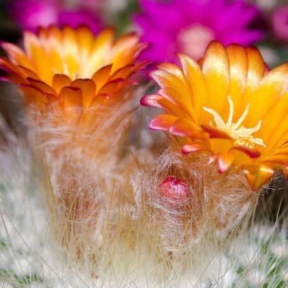 Gyönyörködj színes kaktuszvirágokban egész éven át!