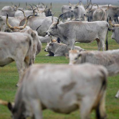 Átrendeződik a magyar szarvasmarha-kivitel