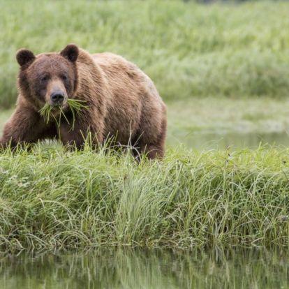 Medve ölt meg egy kislányt és édesanyját Kanadában