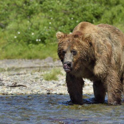 Grizzlytámadás áldozata lett egy anya és kisbabája a kanadai Yukonban
