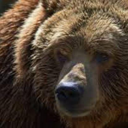 Tíz hónapos kislányával együtt ölte meg az anyát egy grizzly