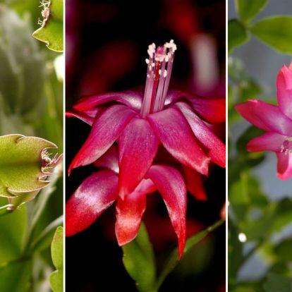 Karácsonyi kaktusz: a szobanövény, amely végigkíséri az életünk